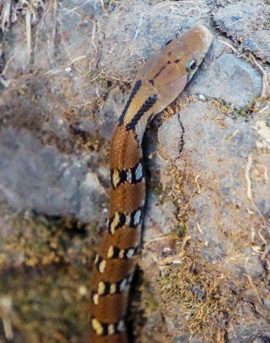 Snake at Rajgad