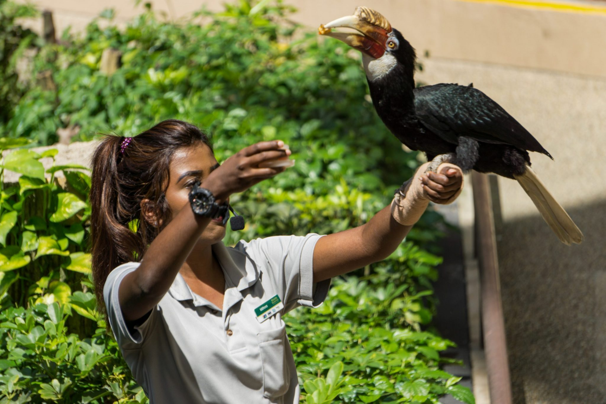 Trained Great Hornbill