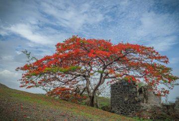 Gulmohar tree low